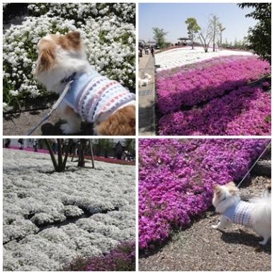 芝桜.jpg